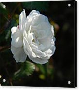Sunshine White Rose Acrylic Print