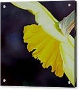 Sunshine Yellow Daffodil Acrylic Print