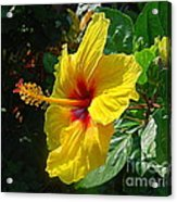 Sunshine Yellow Hibiscus With Red Throat Acrylic Print