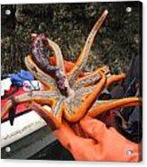 Sunstar Feeds On Sea Cucumber Acrylic Print