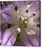 Super Close Up Of A Chive Flower Acrylic Print