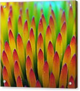 Super Macro Of Echinacea Cone Flower Acrylic Print
