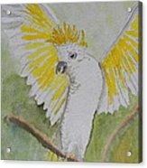 Suphar Crested Cockatoo Acrylic Print