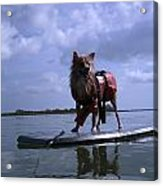 Surfer Dog Acrylic Print by Susan Sidorski