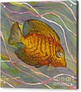 Surgeonfish Acrylic Print