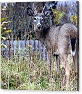 Surprised Deer Acrylic Print