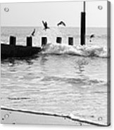 Surprised Seagulls Acrylic Print