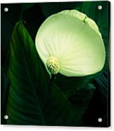 Surreal Peace Lily Acrylic Print