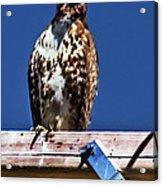 Swainson Hawk Acrylic Print