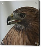 Swainsons Hawk Acrylic Print