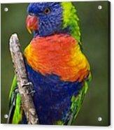 Swainsons Lorikeet Acrylic Print