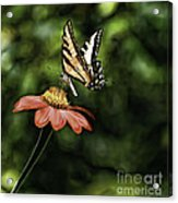 Swallow Tail Butterfly Acrylic Print