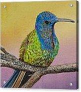 Swallow-tailed Hummingbird Acrylic Print