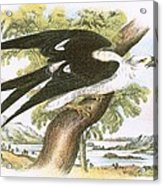 Swallow-tailed Kite Acrylic Print