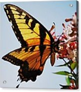Swallowback Butterfly # 2 Acrylic Print