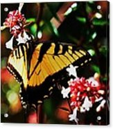 Swallowback Butterfly # 1 Acrylic Print