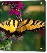 Swallowtail 1 Acrylic Print