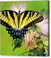 Swallowtail And Mimosa Acrylic Print