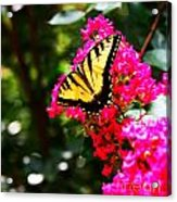 Swallowtail Beauty  Acrylic Print
