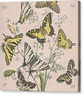 Swallowtail Butterflies - Papilionidae Acrylic Print