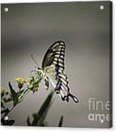 Swallowtail Butterfly 2014 Acrylic Print