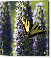 Swallowtail Butterfly Acrylic Print