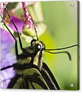 Swallowtail Butterfly Acrylic Print by Priya Ghose