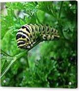 Swallowtail Caterpillar Acrylic Print