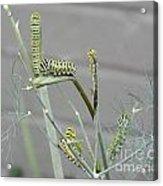 Swallowtail Feast Acrylic Print