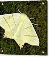 Swallowtail Moth Acrylic Print