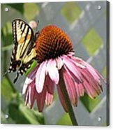 Looking Up At Swallowtail On Coneflower Acrylic Print