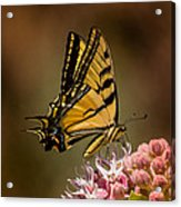Swallowtail On Milkweed Acrylic Print