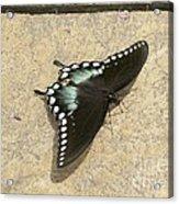 Swallowtail On The Rocks Acrylic Print