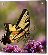 Swallowtail Sweetness Acrylic Print