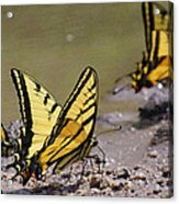 Swallowtails Acrylic Print