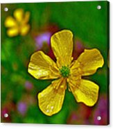 Swamp Buttercup Near Loon Lake In Sleeping Bear Dunes National Lakeshore-michigan  Acrylic Print