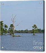 Swamp Cypress Trees Acrylic Print
