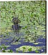 Swamp Gator Acrylic Print