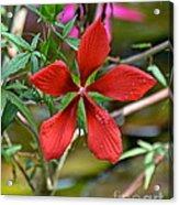 Swamp Hibiscus Acrylic Print