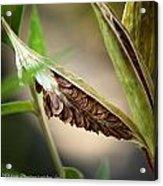 Swamp Milkweed Pod Acrylic Print