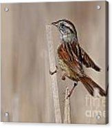 Swamp Sparrow Pictures 17 Acrylic Print