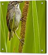 Swamp Sparrow Pictures Acrylic Print