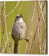 Swamp Sparrow Split Decision Acrylic Print