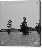 Swamp Tall Cypress Trees Black And White Acrylic Print