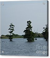 Swamp Tall Cypress Trees  Acrylic Print