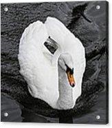 Swan 2 Acrylic Print
