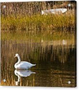 Swan And Boat 2 Acrylic Print