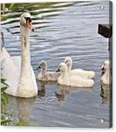 Swan And Chicks Acrylic Print