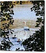 Swan And Ducks Through Trees Acrylic Print
