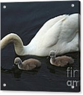 Swan And Signets Acrylic Print